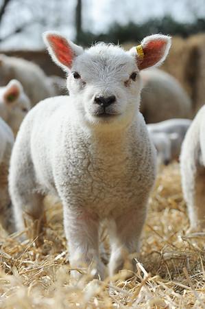 146_Lambing Sunday