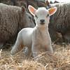 156_Lambing Sunday