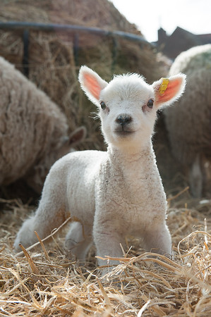 157_Lambing Sunday