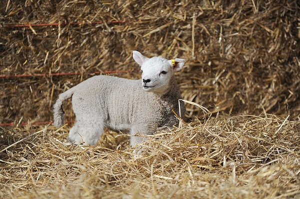 131_Lambing Sunday