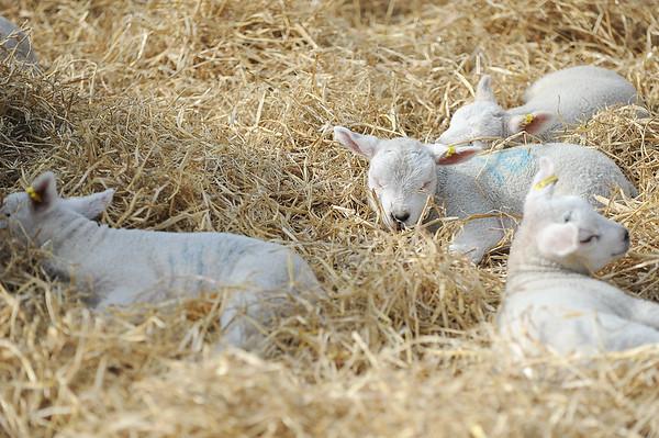 129_Lambing Sunday