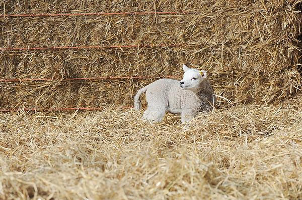 132_Lambing Sunday