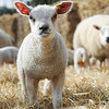 148_Lambing Sunday