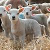 137_Lambing Sunday