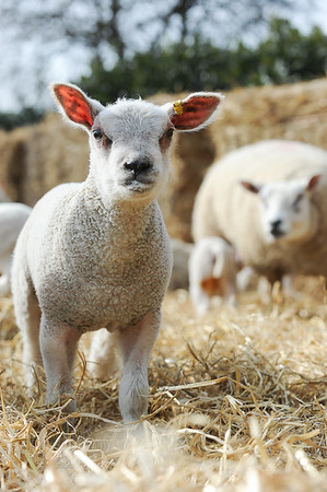 147_Lambing Sunday