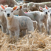 136_Lambing Sunday