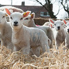 144_Lambing Sunday