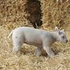 126_Lambing Sunday