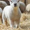 145_Lambing Sunday
