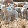 138_Lambing Sunday