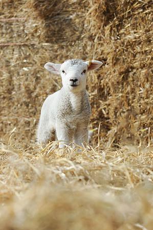 151_Lambing Sunday