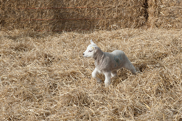 133_Lambing Sunday