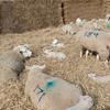 124_Lambing Sunday