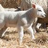 055_Lambing Sunday