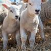 030_Lambing Sunday