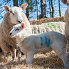 034_Lambing Sunday