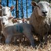 037_Lambing Sunday