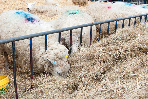 267_Lambing Sunday