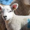 040_Lambing Sunday