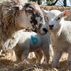 079_Lambing Sunday