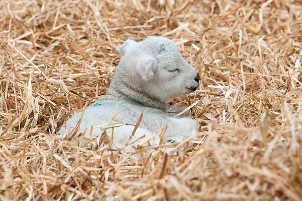 271_Lambing Sunday