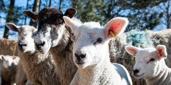 028_Lambing Sunday