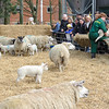 265_Lambing Sunday