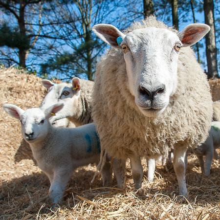 046_Lambing Sunday
