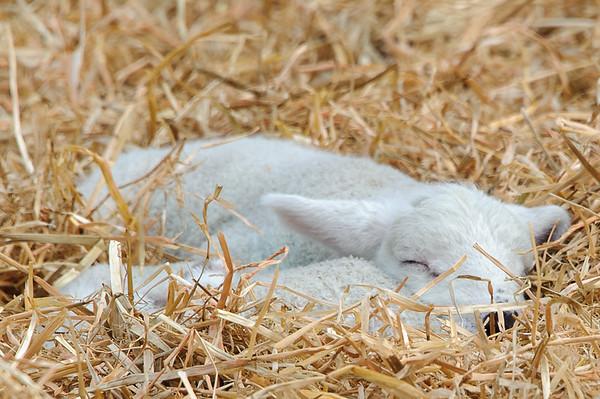 269_Lambing Sunday