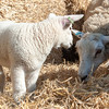 078_Lambing Sunday