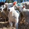027_Lambing Sunday