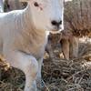 031_Lambing Sunday