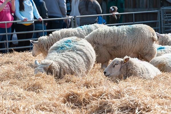 094_Lambing Sunday