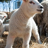 049_Lambing Sunday