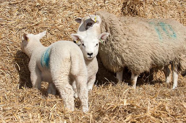 077_Lambing Sunday
