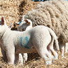 052_Lambing Sunday