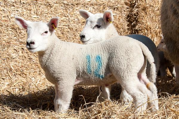 054_Lambing Sunday