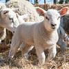 032_Lambing Sunday
