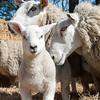 044_Lambing Sunday