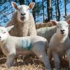 041_Lambing Sunday