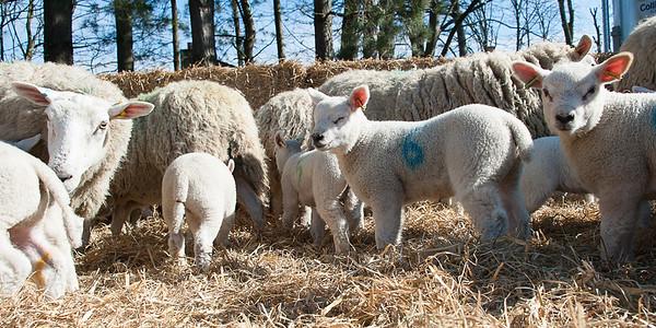 050_Lambing Sunday