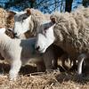 045_Lambing Sunday