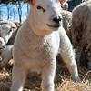 048_Lambing Sunday
