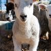 023_Lambing Sunday