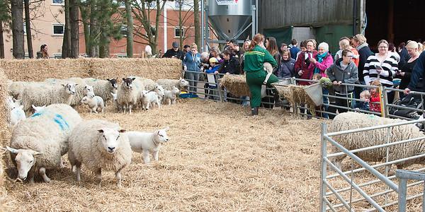 262_Lambing Sunday