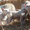 057_Lambing Sunday