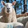 042_Lambing Sunday