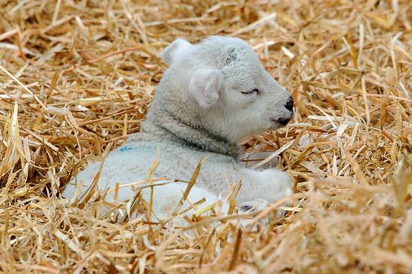 270_Lambing Sunday