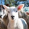 026_Lambing Sunday