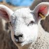 039_Lambing Sunday